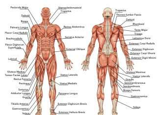 Major Muscle Groups To Workout
